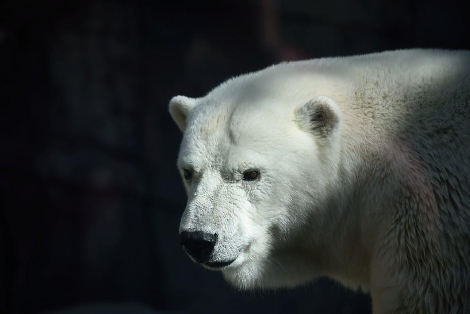 A Polar Bear at the Indianapolis Zoo.