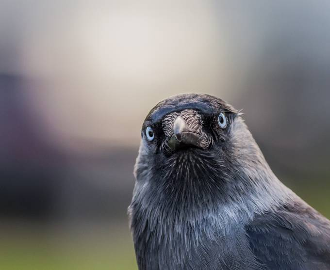 Jackdaw by Kamstrup - The Nature Lover Photo Contest