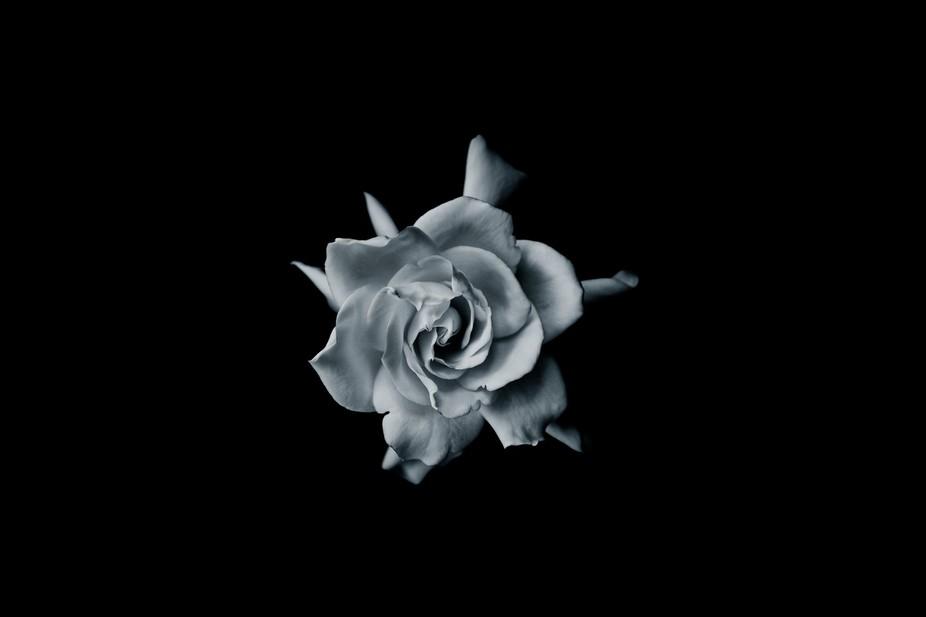 Simple rose.