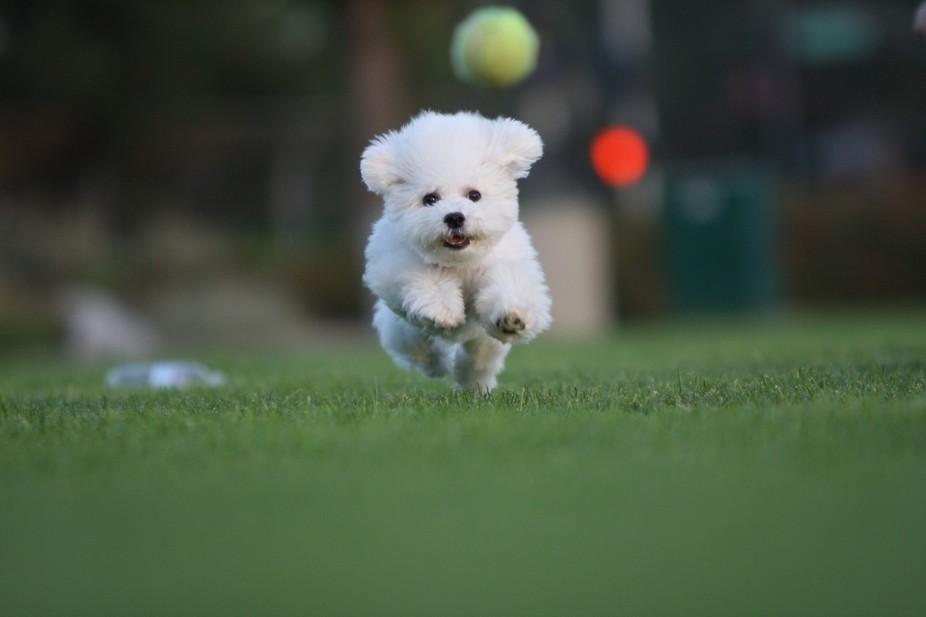 Mochi fetching the ball