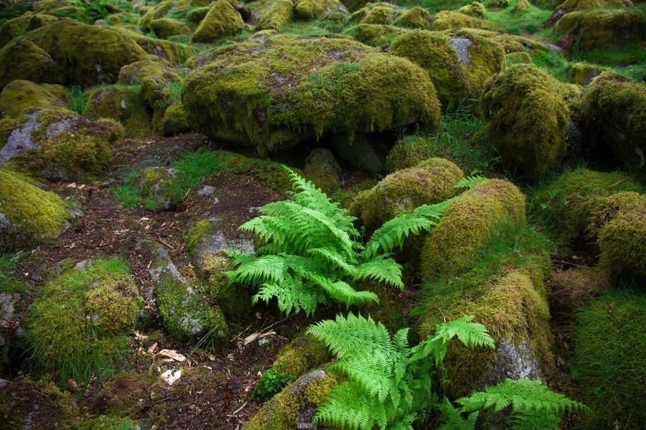 This forest floor image was taken in Wistman's Wood in late June, on the morning after M...