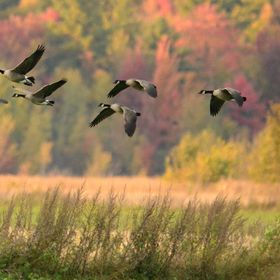 Gooses land in the field