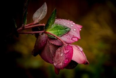 Rainy hellebore