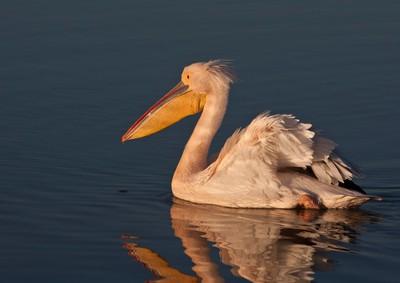proudl pelican