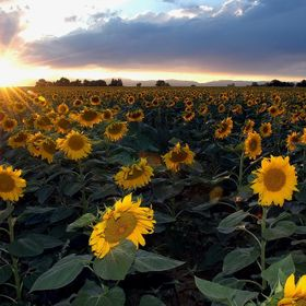 Colorado used to be the sunflower capital of the US, but that has changed over the years.   There are still huge stands of these amazing plants. ...