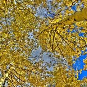 When I hike, I have to look around and of course, look up as well.   These Aspens were truly amazing.   This is a 7 image composition making up o...