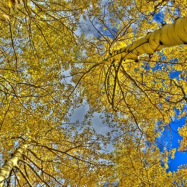 When I hike, I have to look around and of course, look up as well.   These Aspens were truly amazing.   This is a 7 image composition making up one HDR image.    Breckenridge, Colorado, USA