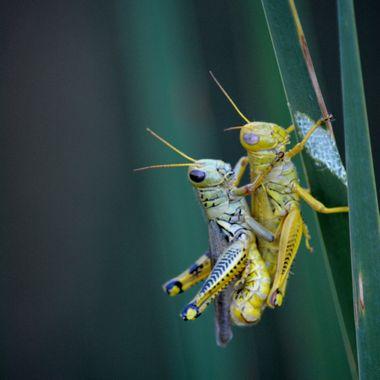 Evolution of a grasshopper, going through it's final moult.