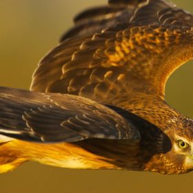 A young Northern Harrier patrols the freshwater ponds at Arcata Marsh as the sun sets.
