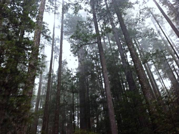 Redwood giants copy