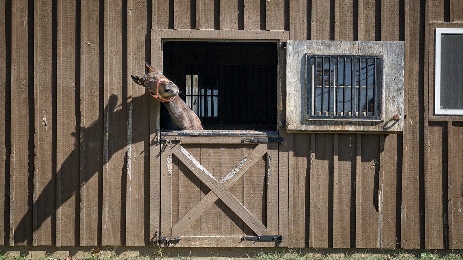 Funny horse in stable near Bird-in-Hand, PA