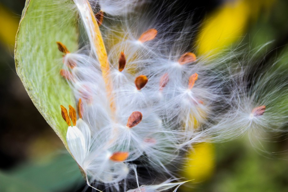 The Milkweed flower developing in spring in South Florida.