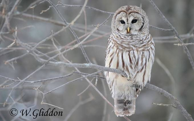 Barred Owl by wendygliddon - My Best Shot Photo Contest Vol 2