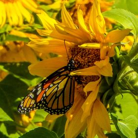 Butterfly enjoying a sunflower in the sun.