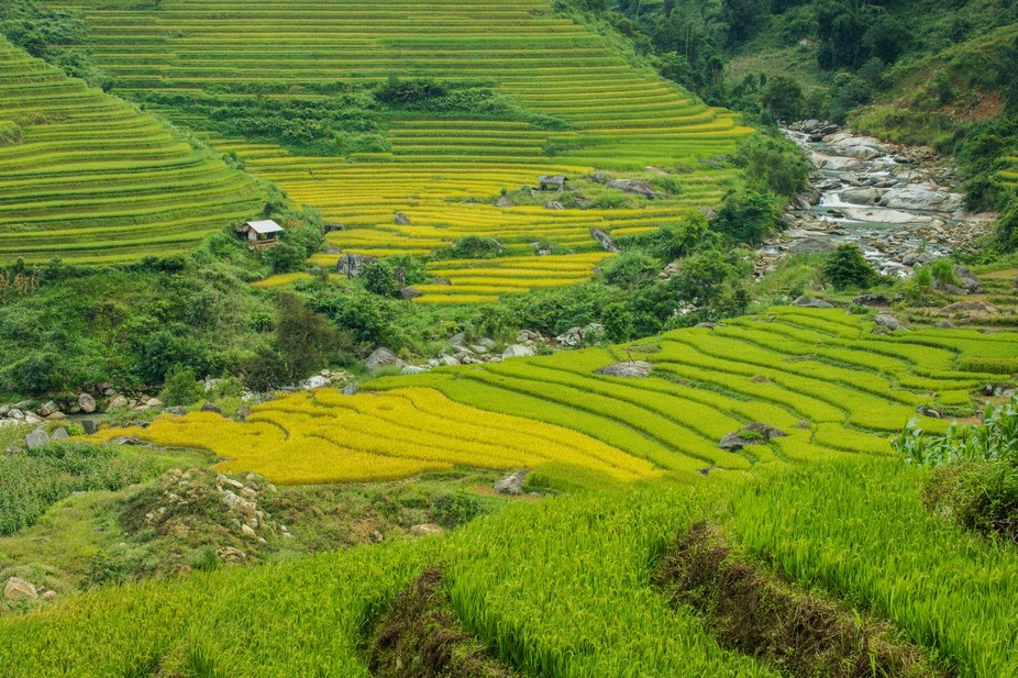 The terraced rice paddies around Sapa, Vietnam are a man-made wonder, and a feat of agricultural ...