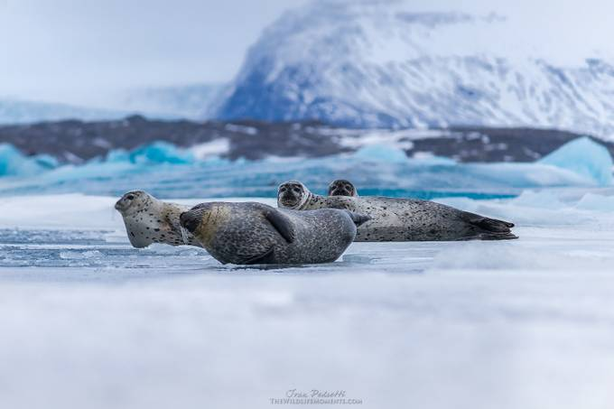 Iceland seals by wildlifemoments - Wildlife And Water Photo Contest