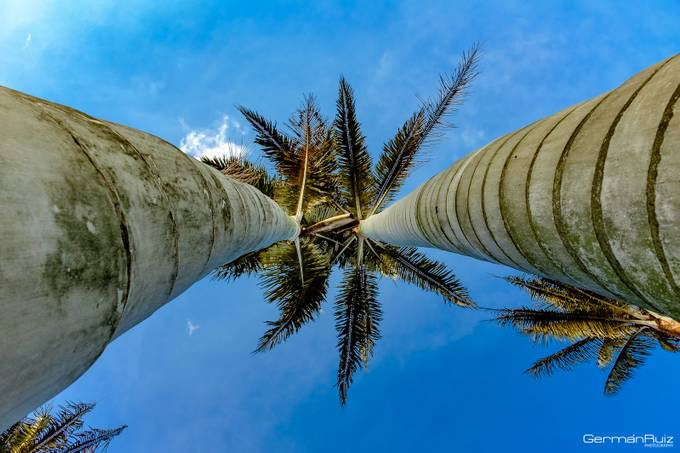 Palms by GermanRuizPhoto - Tall Trees Photo Contest