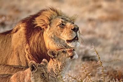 Like Father, Like Son--Black Maned Lions of the Kalahari