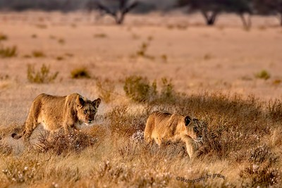 Lion Cubs Approach Their Daddy, Kalahari Reserve, Botswana