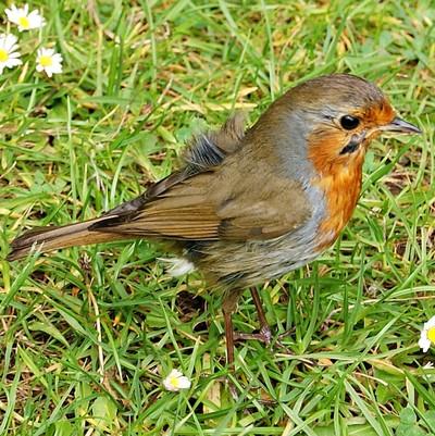 Ruffled Robin