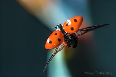 Flight of The Lady Bird