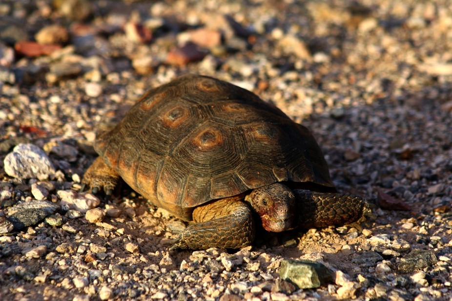 Sonaran Desert Tortoise - A Protected Species