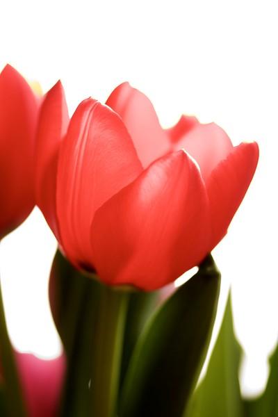 Rose Coloured Petals