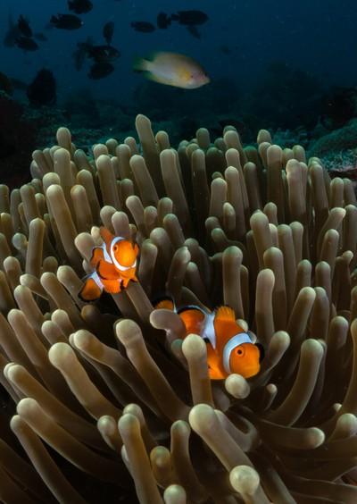 Nemo Pair