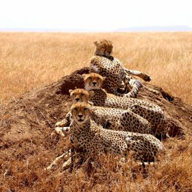 While on Safari in the Serengeti, I was very lucky to see this coalition of Cheetahs.