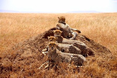A Coalition of Cheetahs