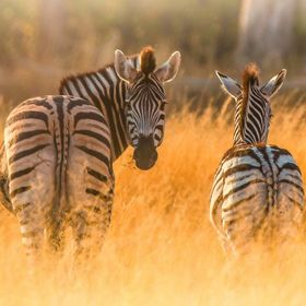 Zebras at sunrise, Botswana