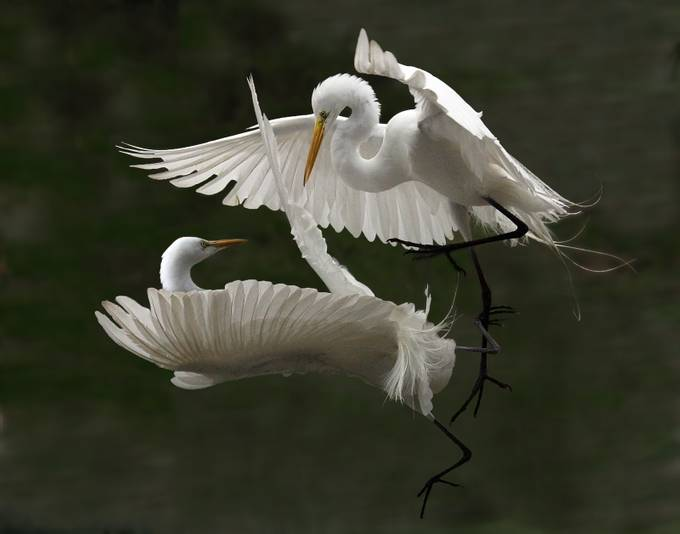 000000egret 311_1_2ab by kathyreeves_1135 - Image of the Year Photo Contest by Snapfish