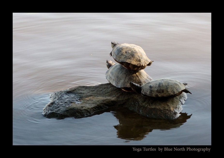 yoga_turtles_by_bluenorthphotography-d8a2jy9