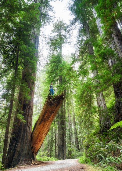 Among the Redwoods