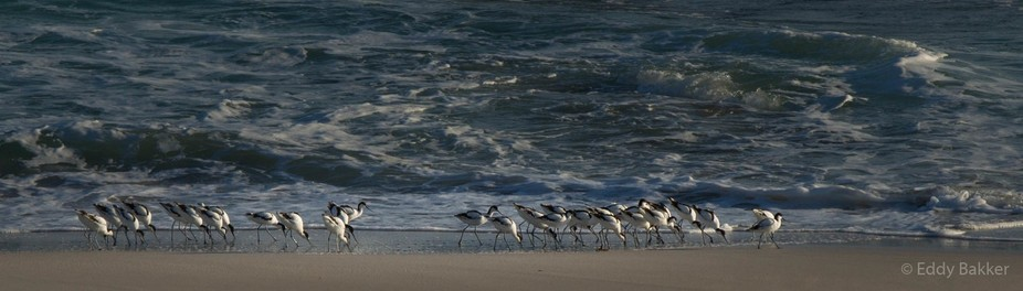 Pied Avocets MG_3004