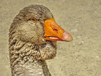 Toulouse Goose Profile