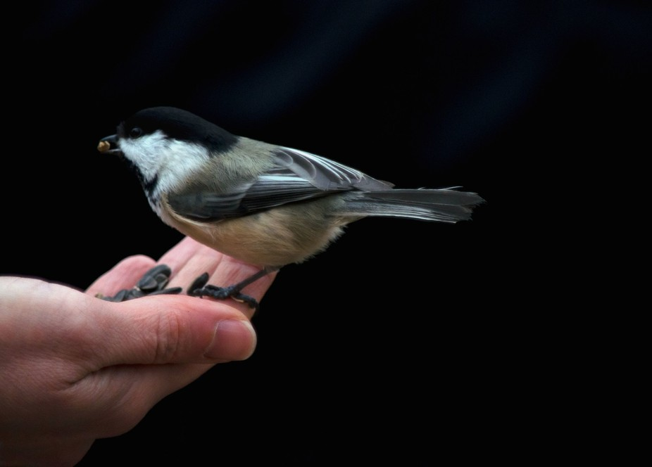 The Chickadees in the area were super friendly, and, were easily hand fed.