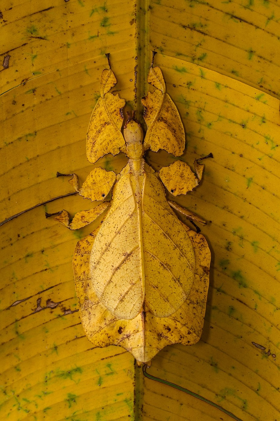 LEAF MANTIS by lessysebastian - Can You See Me Photo Contest