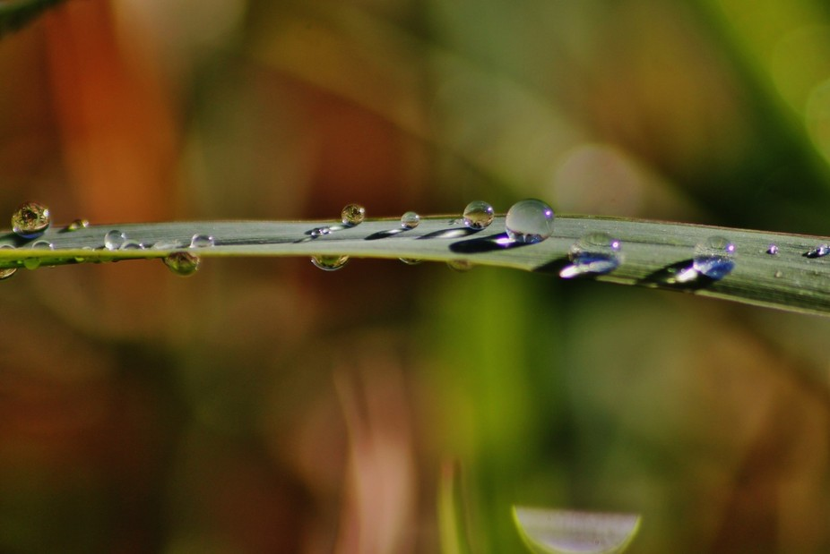 These are dewdrops on a thick blade of grass that remained after the first frost of the year melt...