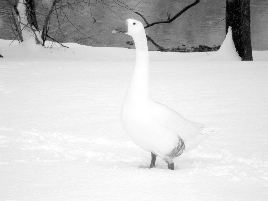 Found it impossible not to shoot this shot.  Luckily the Goose is used to seeing me and did not b...