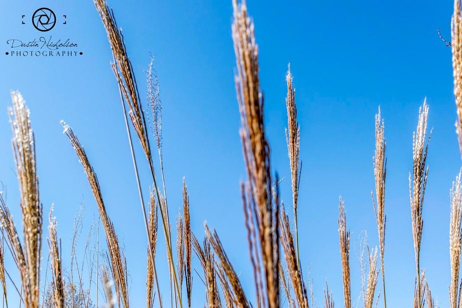 wheattops