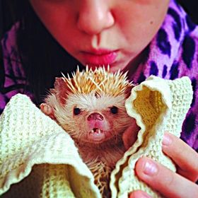 Rosie the hedgehog, wrapped in a towel and held by a family friend's daughter. Perhaps my favorite part of this photo is Rosie's teeth,...