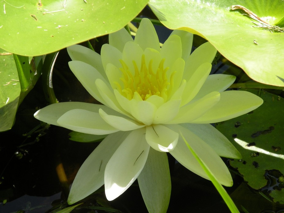 The sun shining through the overlaying lily pads wash the waterlily with green light.