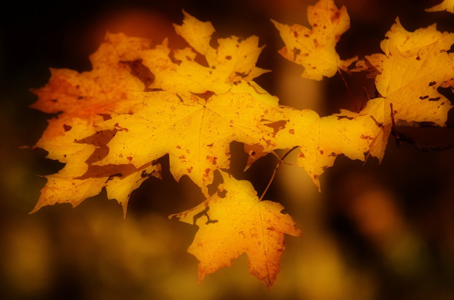 A few maple trees in our yard that had some good color to them and this is one shot on many.