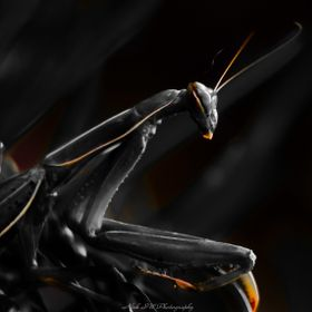 Black Mantis