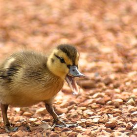 A little duckling just taking a little walk on the path. When I captured this photo he had opened his beak. So cute.