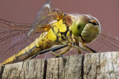 Smiling face of a Dragonfly