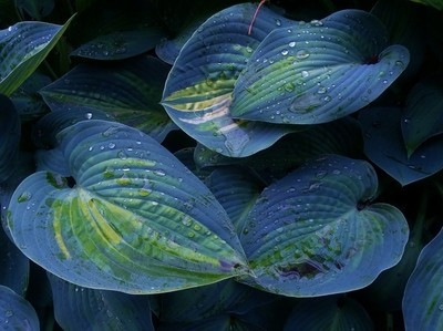 Blue Lagoon Leaves
