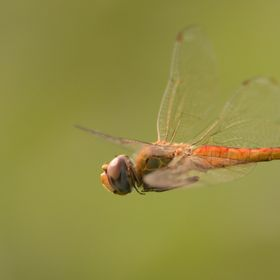 A dragon fly spends most of its life as a nymph. It has a very short span of life as an adult probably just about two to six months. Yet when you...