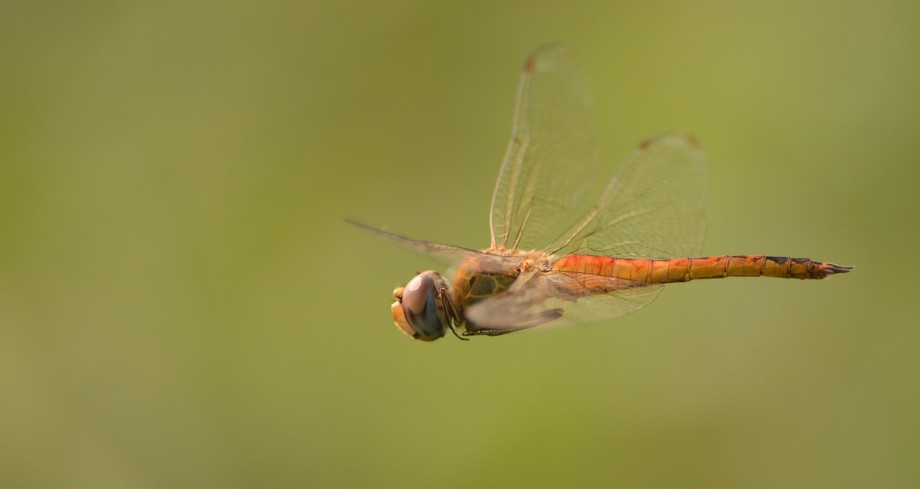 A dragon fly spends most of its life as a nymph. It has a very short span of life as an adult pro...